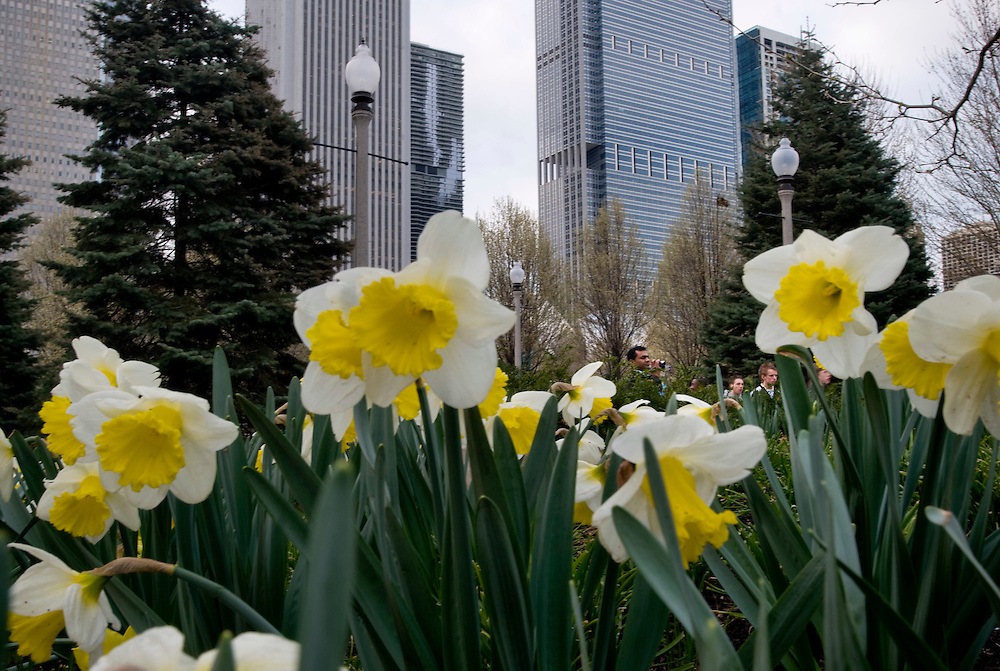 Daffodils in Millenium Park.<br /> <br /> Millennium Park is one of the largest green roof projects in the world. The 24.5 acre public park was dedicated July 16, 2004, as part of Mayor Richard Daley's quest to &quot;green&quot; an industrial metropolis and develop cultural arts. <br /> <br /> What was once gravel and pavement is now artwork and green space with over 900 trees, shrubs, groundcovers, perennials, annuals and growing medium which absorbs and polishes storm water, cleans the air, reduces the urban heat island and provides multiple social, cultural and economic benefits.<br /> <br /> Green Chicago..Photographer: Chris Maluszynski /MOMENT