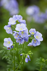 Polemonium 'Northern Lights'. Jacob's ladder