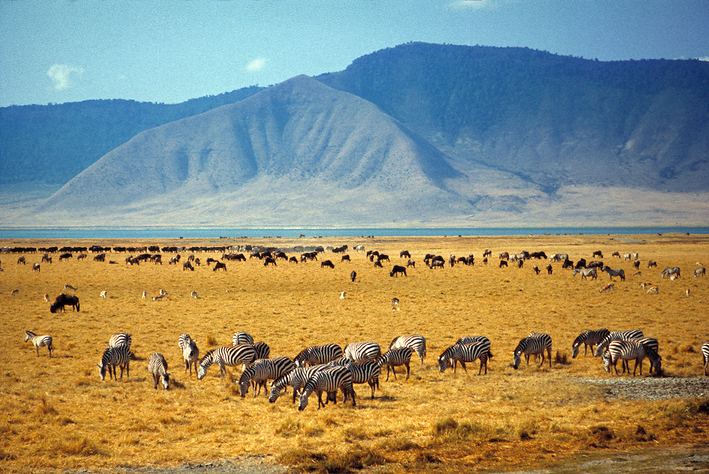 A herd of grazing zebra fill the foreground of Ngorongoro Crater National Park, Tanzania.