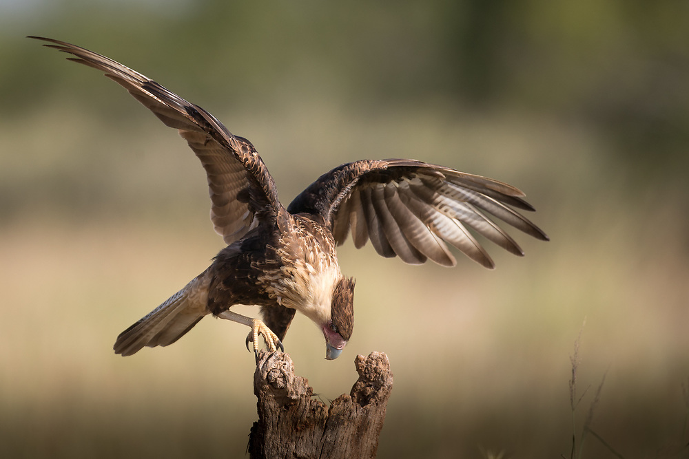 Caracara cheriway, young, south Texas