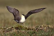 Long-tailed Jaeger - Stercorarius longicaudus - summer adult