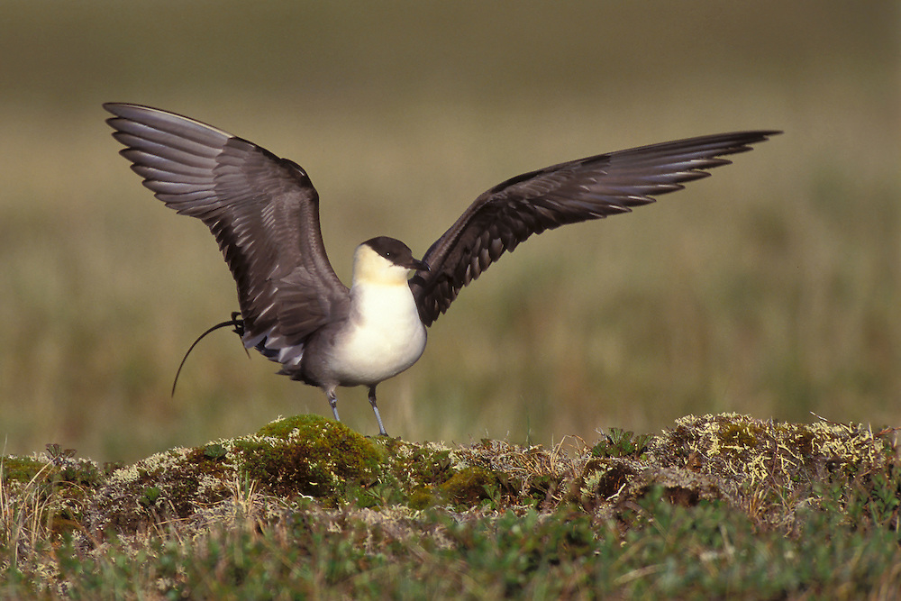 Long-tailed Jaeger - Stercorarius longicaudus - summer adult