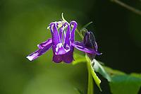 Aquilegia Flower (Aquilegia vulgaris) in Slovak Paradise National Park, Slovensky Raj, Slovakia