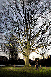 © Licensed to London News Pictures. 18/2/2016. Coventry, UK. The battle of Verdun started on the 21st of February 1916. As a memorial to the battle acorns from oak trees on the battle site were brought back and planted all over England. To commemorate the centenary the Woodland Trust are hoping to gather acorns from the trees and plant them. It is thought there are less than a dozen remaining trees. Pictured, the tree in Spencer Park, Coventry. Photo credit : Dave Warren/LNP