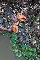 Orange and purple Ochre Sea Stars (Pisaster ochraceus) and Green Sea Anemone attached to the base of a sea stack, Ruby Beach, Olympic National Park, Washington, United States of America