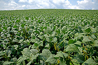 Soy beans growing at the Mountain Horticultural Research and Extension Center in Henderson County.