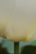 A close-up shows the delicate texture of layered petals on a creamy white tulip.