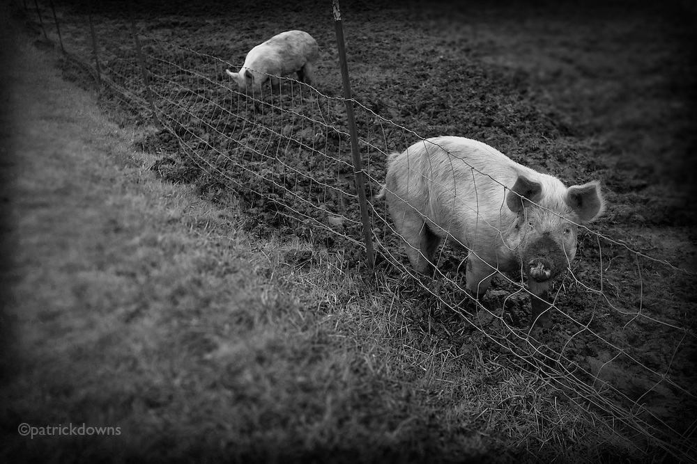 Muddy pigs in a soggy uprooted winter's field, just across the wire from grass they long for.