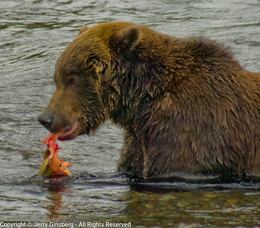 North America, United States, West, Northwest, Pacific Northwest, Alaska, Katmai, Katmai National Park, Katmai NP, Brooks, river, Brooks Riber. Grizzly bear, brown bear enjoying a salmon in the Brooks River, Katmai National Park, Alaska.