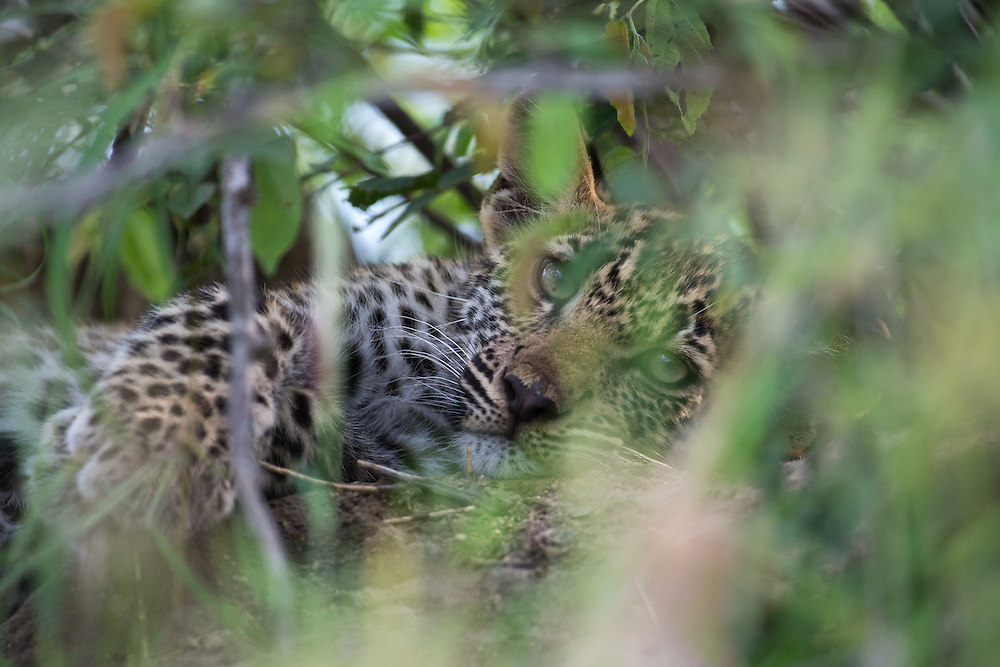Leopard cub is hidden deep in the scrub while mom hunts for dnner.