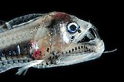 this fish is a juvenile viperfish (Chauliodus sloani) | Die Vipernfische (Chauliodus sloani), im Bild ein juveniles Exemplar, leben meist in den oberen 1000 m der Wassersäule, wobei sie tagsüber in größeren Tiefen zu finden sind und nachts aktiv aufsteigen. Sie haben zahlreiche Leuchtorgane, die einerseits der Tarnung im Gegenlicht dienen, andererseits aber auch Beutetiere anlocken können. Da Begegnungen mit größeren Beutetieren in der Tiefsee selten sind, kann der Vipernfisch es sich kaum leisten, eine Chance zu vergeuden. Daher haben diese Fische furchteinflößend lange Zähne entwickelt, um ein sicheres Zupacken zu ermöglichen.