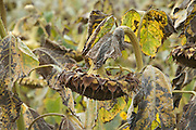 hanging head from a sunflower whose time has come to be harvest