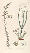 Hand painted botanical study of an Euphorbia ornithopus succulent plant anatomy from Fragmenta Botanica by Nikolaus Joseph Freiherr von Jacquin or Baron Nikolaus von Jacquin (printed in Vienna in 1809)