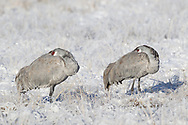 Sandhill cranes resting with beak and face tucked under feathers, eyes still open, in field covered in frosted grass and light snow. Middle Rio Grande Valley, NM. © 2011 David A. Ponton