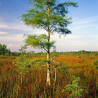 Dwarf Cypress in Evergaldes National Park Florida. Showing a cypress seadling and sawgrass with cypress forest in the background.
