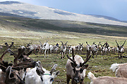 Stunning images reindeer herders of Mongolia<br /> <br /> Tsaatan people are reindeer herders and live in northern Kh&ouml;vsg&ouml;l Aimag of Mongolia. Originally from across the border in what is now Tuva Republic of Russia,the Tsaatan are one of the last groups of nomadic reindeer herders in the world. They survived for thousands of years inhabiting the remotest Ulaan ta&iuml;ga, moving between 5 and 10 times a year. <br /> The reindeer and the Tsaatan people are dependent on one another. Some Tsaatan say that if the reindeer disappear, so too will their culture. The Tsaatan depend on the reindeer for almost, if not all, of their basic needs:  their reindeers provide them with milk, cheese, meat, and transportation. They sew their clothes with reindeer hair, reindeer dung fuels their stoves and antlers are used to make tools. They do not use their animals for meat. This makes their group unique among reindeer-herding communities. As the reindeer populations shrink, only about 40 families continue the tradition today. Their existence is threatened by the dwindling number of their domesticated reindeer. Many have swapped their nomadic life for urban areas. <br /> <br /> Every evening, more than a hundred reindeer would return to the camp after a long day spent far away searching for food. Those were utterly unforgettable moments, as we watched their herds returning; a graceful army filling the horizon, their antlers dancing in the air.<br /> &copy;Pascal MANNAERTS/Exclusivepix Media
