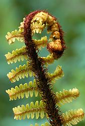 Unfurling frond of Dryopteris wallichiana - Wallich's wood fern