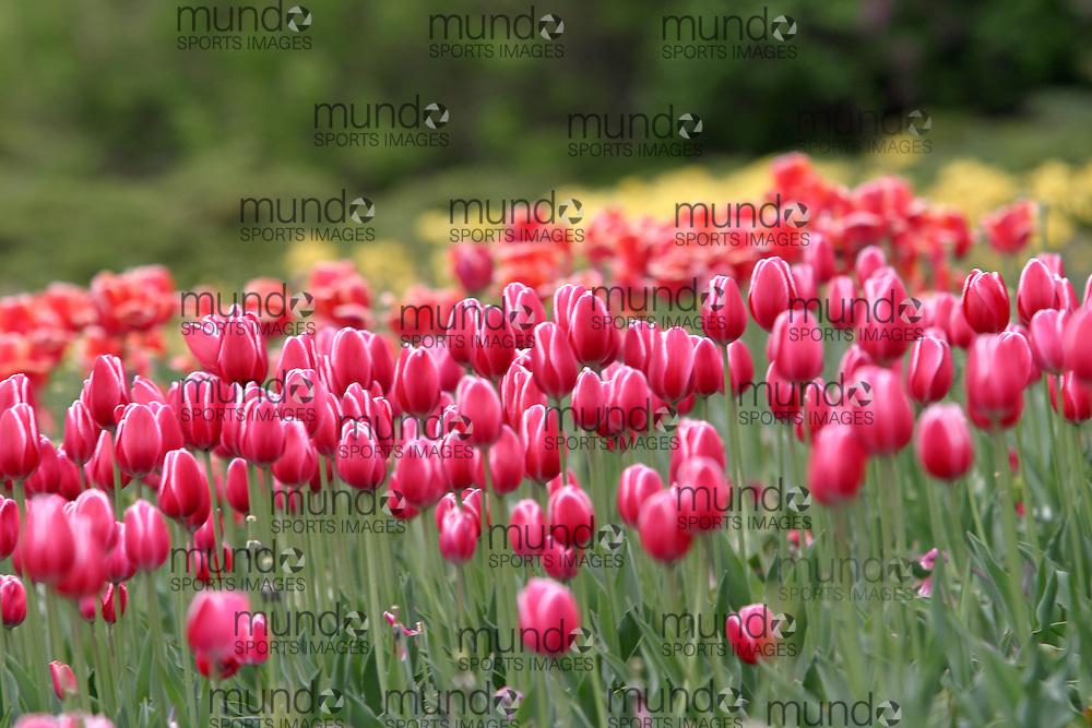 Tulips planted for the annual Tulip Festival in Ottawa, Canada.