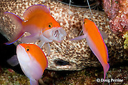 bicolor anthias, Pseudanthias bicolor, gaping or yawning, with moray eel and shrimp antennae in background, Honokohau, Kona, Hawaii Island ( the Big Island ), Hawaii, USA ( Central Pacific Ocean )