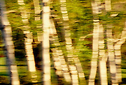 White birch trees blowing in the wind