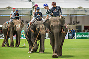 """28 AUGUST 2014 - BANGKOK, THAILAND: Elephant polo action at the King's Cup Elephant Polo Tournament at VR Sports Club in Samut Prakan on the outskirts of Bangkok, Thailand. Each elephant carries two people, the polo player and mahout, who actually controls the elephant. The tournament's primary sponsor in Anantara Resorts. This is the 13th year for the King's Cup Elephant Polo Tournament. The sport of elephant polo started in Nepal in 1982. Proceeds from the King's Cup tournament goes to help rehabilitate elephants rescued from abuse. Each team has three players and three elephants. Matches take place on a pitch (field) 80 meters by 48 meters using standard polo balls. The game is divided into two 7 minute """"chukkas"""" or halves.     PHOTO BY JACK KURTZ"""