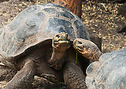 A Galápagos giant tortoise (Chelonoidis nigra, formerly Geochelone elephantopus) regards another at the Charles Darwin Research Station (CDRS, operated by the Charles Darwin Foundation) in Puerto Ayora on Santa Cruz Island, Galápagos islands, Ecuador, South America. This species is the largest living tortoise and is native to seven islands of the Galápagos archipelago. Fully grown adults can weigh over 300 kilograms (661 lb) and measure 1.5 meters (5 feet) over the curve of the shell. They are long-lived with a life expectancy of up to 100-150 years in the wild. Populations fell dramatically because of hunting and the introduction of predators and grazers by humans since the 1600s. Only ten subspecies of the original twelve exist in the wild. Since Galápagos National Park and the Charles Darwin Foundation were established, hundreds of captive-bred juveniles have been released back onto their home islands.