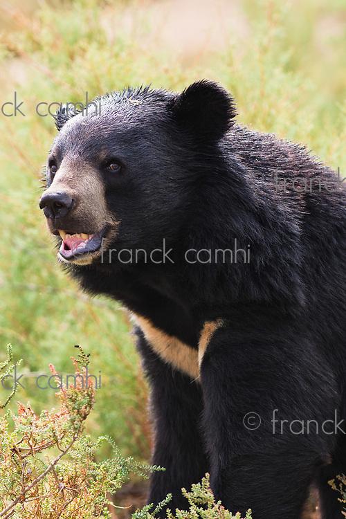 Asian Black Bear portrait in nature
