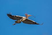Gray Heron in flight with a branch in it's beek, on it's way to build a nest   Gråhegre i flukt med en gren i nebbet, på vei for å bygge reir