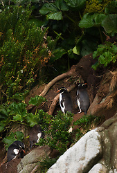 Snares Penguin (Eudyptes robustus) colony at Snares Island south of New Zealand