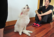 """FUZHOU, CHINA - JUNE 17: (CHINA OUT) <br /> <br /> Wheelchair For Dog<br /> <br /> A disabled poodle named """"Fanqie"""" (means """"Tomato"""" in Chinese) barks beside its master on June 17, 2014 in Fuzhou, Fujian province of China. A disabled poodle named """"Fanqie"""" was stricken with paralysis 5 years ago, which made him loss the feeling of his hind legs. A lots of people pursuade the masters of """"Fanqie"""" to permit euthanasia for their dog due to """"Fanqie's incurable legs, but the masters did not, instead, they made a special wheel chair for the disabled dog. <br /> ©Exclusivepix"""