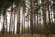 Tall European Larch trees in coniferous forest in autumn, Suffolk, England, UK