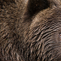 USA, Alaska, Katmai National Park, Geographic Harbor, Close-up of Brown Bear (Ursus arctos) second-year cub walking along stream