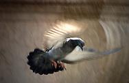 Italien, ITA, Venedig, 2002: Eine Taube (Columba liva) mit gespreizten Fluegeln im Landeanflug. | Italy, ITA, Venice, 2002: Pigeon (Columba liva) with spread wings in landing flight, Venice. |