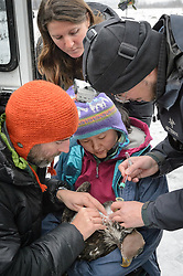 "Steve Lewis, Raptor Management Coordinator, U.S. Fish & Wildlife Service (left) and Dr. Scott Ford, avian veterinarian, Avian Speciality Veterinary Services of Alaska (right) take blood samples from a bald eagle (Haliaeetus leucocephalus) captured in the Alaska Chilkat Bald Eagle Preserve. Holding the eagle is Yiwei Wang, graduate student, University of California Santa Cruz. Watching the procedure is Rachel Wheat, graduate student at the University of California Santa Cruz. Blood samples are taken of the eagles to study for various things including chemical contaminants such as mercury. Wheat is conducting a bald eagle migration study of eagles that visit the Chilkat River for her doctoral dissertation. She hopes to learn how closely eagles track salmon availability across time and space. The bald eagles are being tracked using solar-powered GPS satellite transmitters (also known as a PTT - platform transmitter terminal) that attach to the backs of the eagles using a lightweight harness. The latest tracking location data of this bald eagle known as ""2Z"" can be found here: http://www.ecologyalaska.com/eagle-tracker/2z/ . During late fall, bald eagles congregate along the Chilkat River to feed on salmon. This gathering of bald eagles in the Alaska Chilkat Bald Eagle Preserve is believed to be one of the largest gatherings of bald eagles in the world."