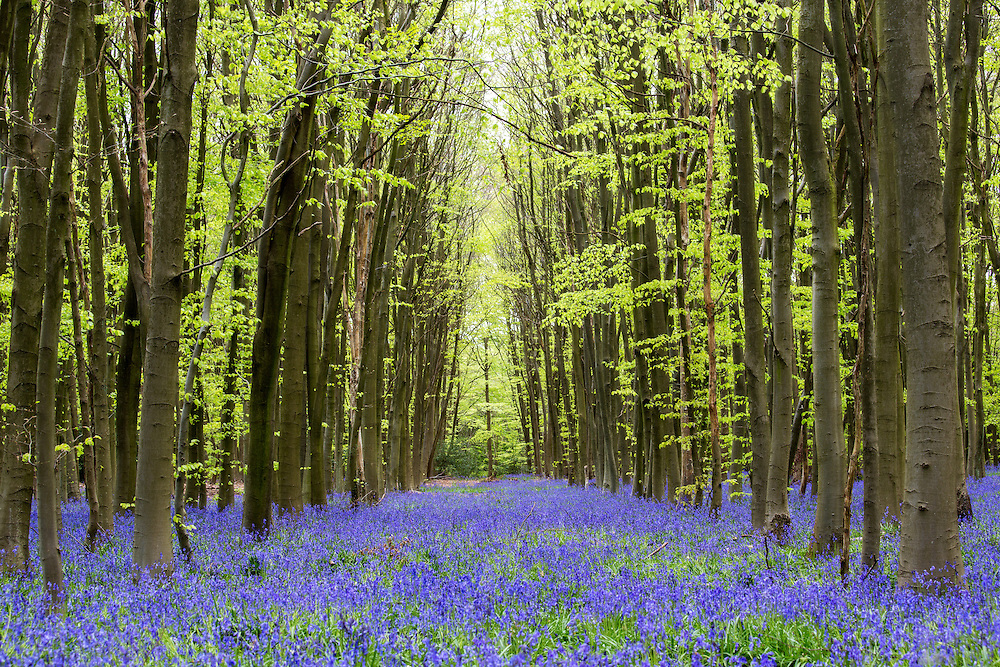 Bluebells in woods in Buckinghamshire