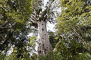 lord of the forest, kauri coast
