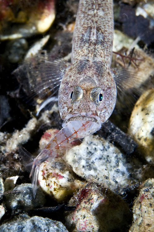 Sand Goby (Pomatoschistus minutus) eating Northern krill (Meganyctiphanes norvegica). Location : Stavanger, Norway