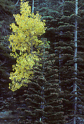 Aspen Tree, aspen, Fall, autumn, Sequoia and Kings Canyon, California