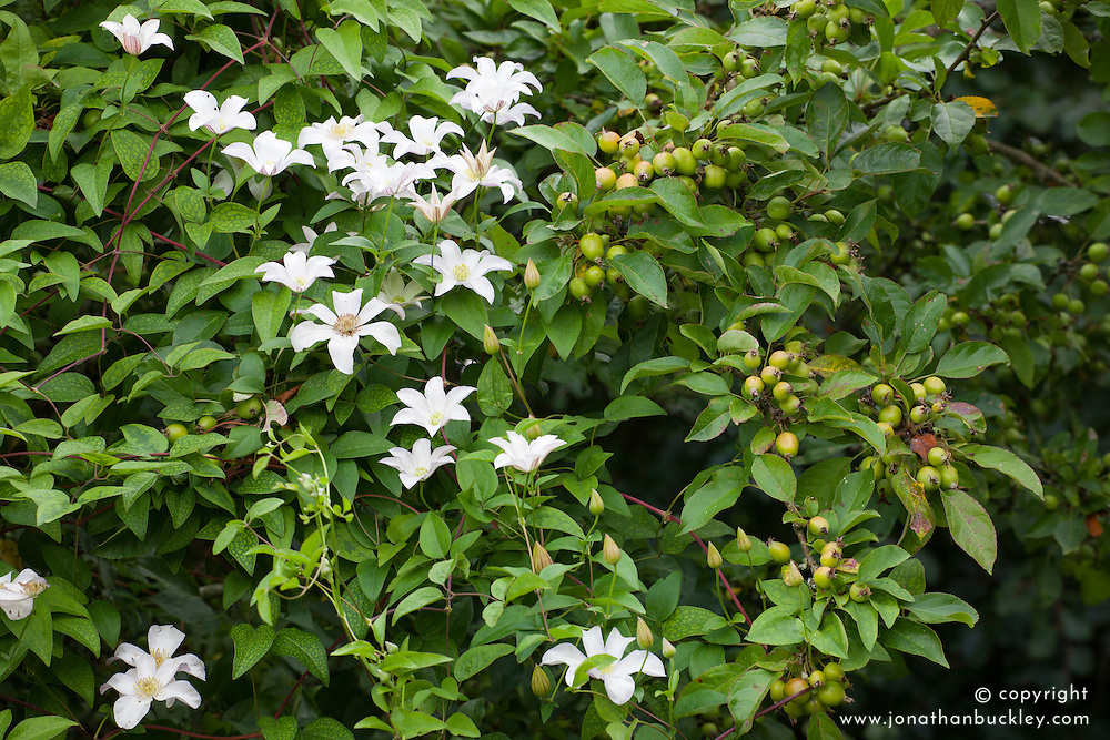 Clematis 'Huldine' growing over Malus x zumi 'Golden Hornet' AGM - Crab apple at Glebe Cottage
