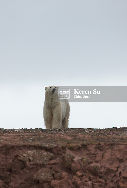 Polar Bear, Woodfjord, Spitsbergen, Norway