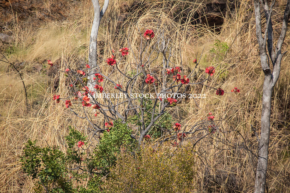 A Kimberley rose (Brachychiton viscidulus) in full flower on a hillside in Cylone Creek, Talbot Bay.