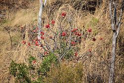 A Kimberley rose (Brachychiton viscidulus) in full flower on a hillside in Cylone Creek, Talbot Bay.