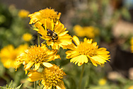 A bee collects pollen from a variety of single yellow coreopsis blossoms.