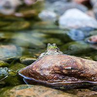A Northern Green Frog sitting on a rock in a pond.  Rana clamitans melanota also known as Lithobates clamitans melanota, is a subspecies of the Green Frog, Rana clamitans. It is native to the northeastern North America and dwells in marshes, swamps, ponds, lakes, springs, and other aquatic environment. It is active both day and night. It may be green, bronze or brown, or a combination but is typically green on the upper lip. The belly is white with darker lines or spots. There may be some irregular spotting on the back. It is distinguished from other frogs in that the dorsolateral ridges run only partway down the back and do not reach the groin. The hind legs have dark bars. Males have a bright yellow throat. Maximum adult size is 10 cm.