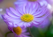 Purple Daisy Osteospermum. Osteospermum belongs to the plant family Compositae Asteraceae or Daisy family The plant originates from South Africa and is therefore also known under the common name African Daisy