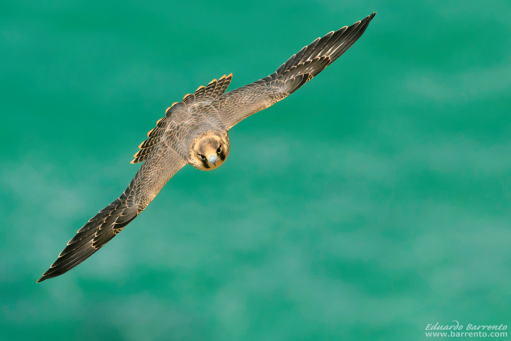 Juvenile Peregrine falcon (Falco peregrinus) flying over the green sea of Nazare beach, Portugal, seen from above the bird of prey