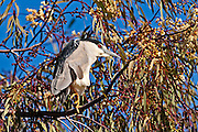 Black Crowned Night Heron in his tree perch.