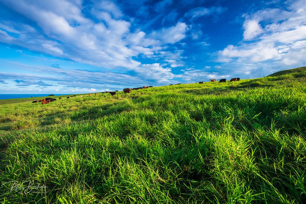 Cattle in a pasture on the Hamakua Coast, The Big Island, Hawaii USA