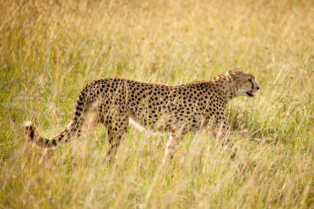 Cheetah on the Move – Cheetah - Masai Mara Game Reserve, Kenya, Africa: Cheetah males are often social and may group together for life, usually with their brothers in the same litter; although if a cub is the only male in the litter then two or three lone males may form a group, or a lone male may join an existing group. These groups are called coalitions. Edition on 100 EXP0582