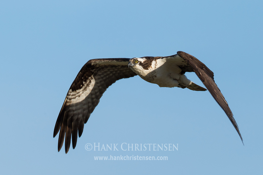 An osprey flies with wings stretched, Wolf Island, Ontario, Canada.